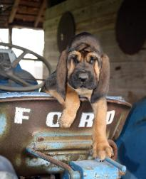 Akc Bloodhound Puppies For Sale Bloodhound Amp Porcelaine Breeder Boerner S Bloodhounds