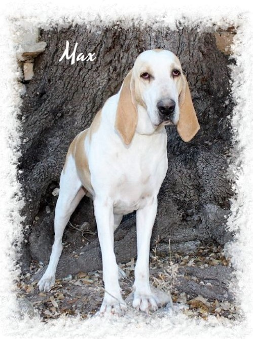 AKC Bloodhound Puppies For Sale - Bloodhound & Porcelaine